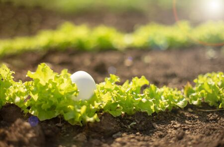 White egg lies in the young fresh green salad growing in the garden. Organic food concept. Close-up.