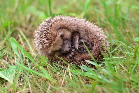 A cute little hedgehog curled up in a ball and lies on its side on the green grass in summer.Funny face and cute paws