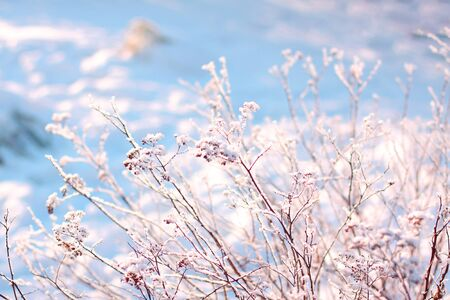 Dry grass in white and blue snow. Soft focus