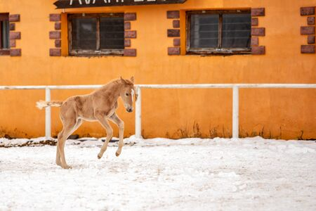 Cute little red foal runs in the snow on a ranch near the orange walls of the stable