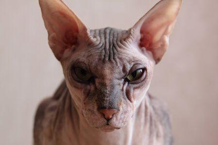 Grey Sphynx cat portrait close-up on bezh background Banco de Imagens