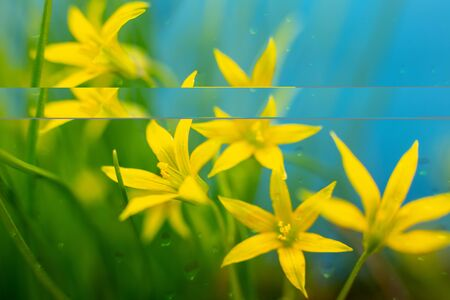 Closeup of five yellow flowers on a blue background, with raindrops Banco de Imagens