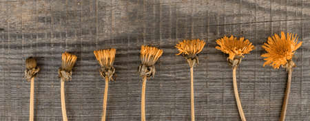 flowers of yellow dandelions lie in a row