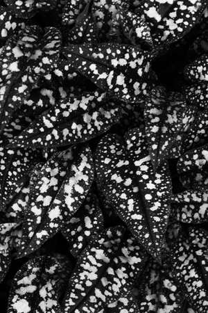 black and white abstract leaf background, beautiful plant pattern, space for text