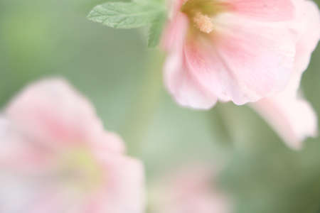 pink flowers and green leaves, macro photography of summer flowers, soft focus