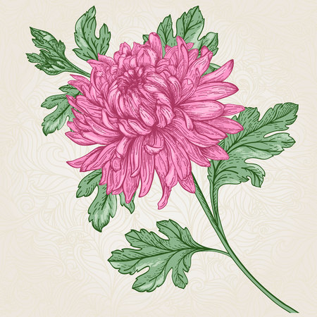 aster: background with hand-drawn flower chrysanthemum isolated. Illustration