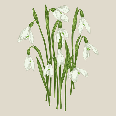 Bouquet of snowdrops. Set. Vintage flowers in engraving style. Vector illustration.
