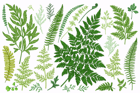 Set with leaves. Ferns. Vector design elements. Botanical illustration.