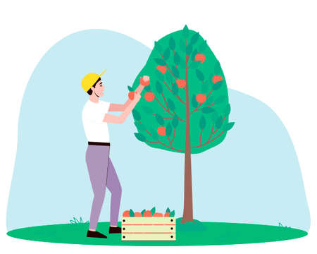 A male gardener harvests an apple tree. Juicy red apples hang from the branches of a tree and lie collected in a box. Flat vector illustration.