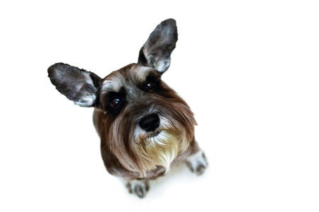 Funny schnauzer with raised ears sitting on white background photo