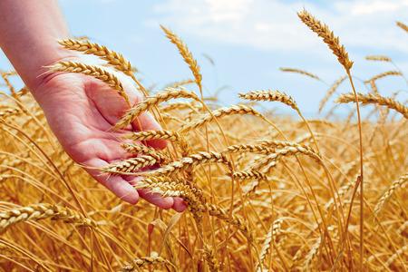 麦畑と夏の日にコーンを持っている男性の手 写真素材