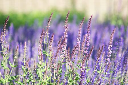 Close-up of lavender bloom in a field