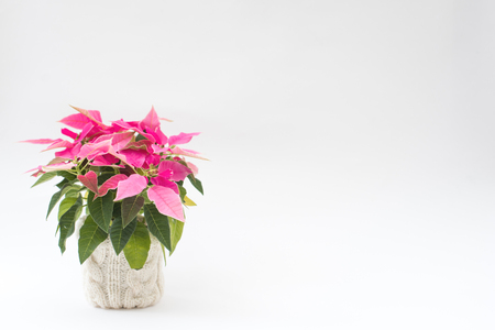 Pink poinsettia in a white knitted flower pot on a white background