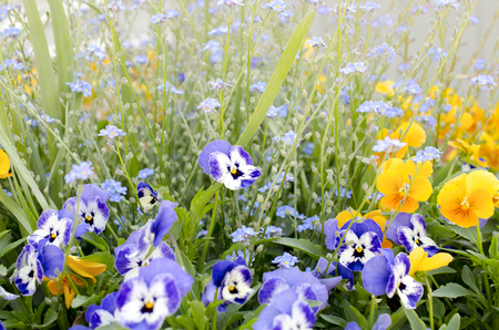 A field of colorful pansies and forget-me-nots