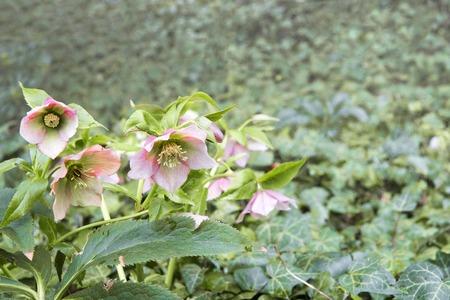 Blooming pink helleborus negra , plenty of green leaves in spring garden
