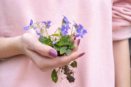 Woman hand holding violet flower with roots Reklamní fotografie