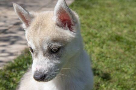 Siberian husky puppy sitting on green grass Imagens