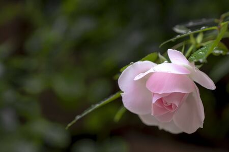 Light pink rose with leaves, water drops Stok Fotoğraf