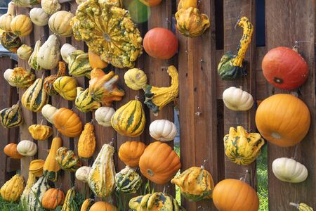 Pumpkins in different forms hanging on fence
