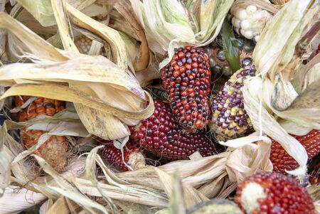 Colorful cobs of dried corn with leaves