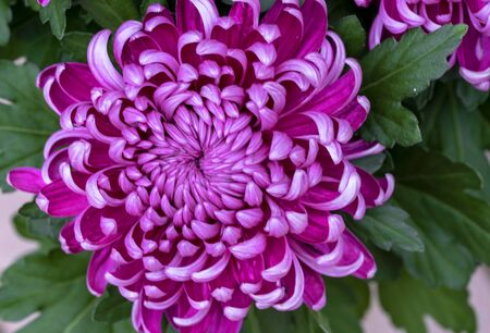 Bring dark pink chrysanthemum with green leaves in close up Stok Fotoğraf