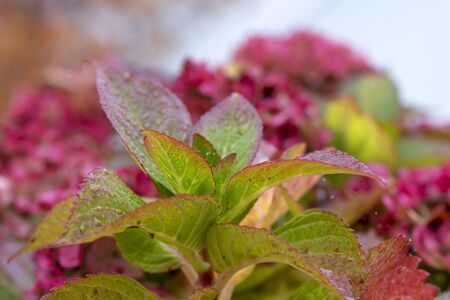 Green hydrangea leaves changing color in autumn, close up, with flowers on background, after rain