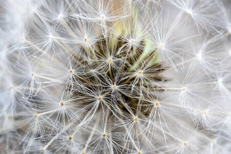 Delicate fluffy dandelion in close up with black seeds