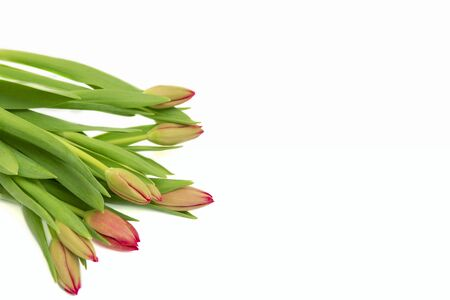 Bunch of red tulips isolated, white background