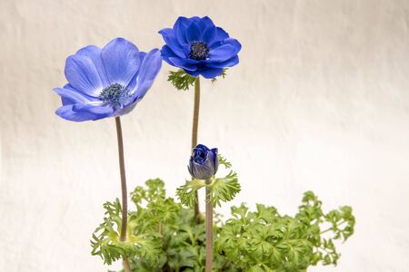 Three blue anemones with buds, green leaves Stok Fotoğraf