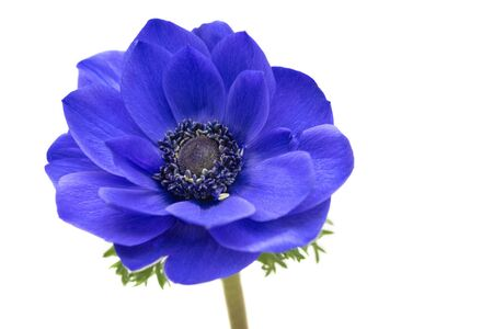 Blue anemone in full bloom, close up
