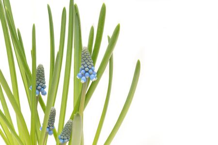 Three blue muskari flowers with green leaves