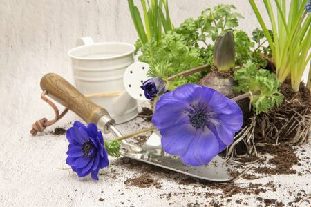 Replanting plants in spring, white watering can and trowel, plant roots in soil