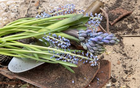Blue hyacinth and muscari with soil and white roots, on broken flower pot with shovel