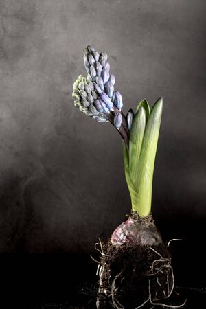 Purple hyacithus with bulb and roots in soil, green leaves on dark grey background Stok Fotoğraf