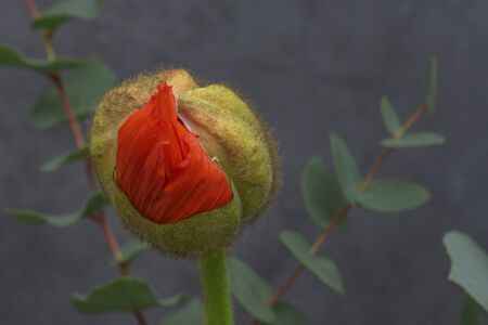 Red poppy bud with eucaliptus leabes on dark grey background