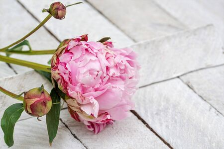 Pink peony with two buds and leaves on old white colored wooden bakground, copy space