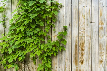 Ivy on old wooden fence, background