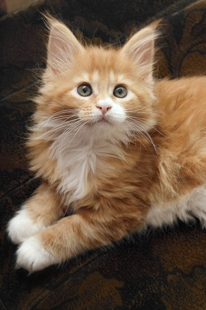 maine coon: red Maine Coon kitten sitting on the couch Stock Photo