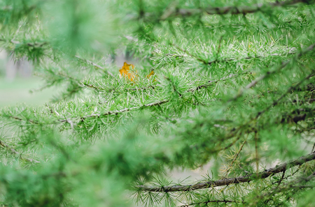 Branch with Young Needle Leaves of European larch in spring day Stock Photo