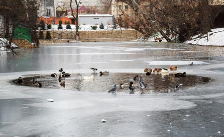 wild ducks swimming in the water
