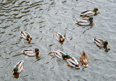 wild ducks swimming in the water