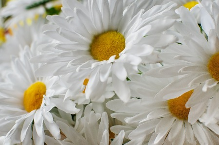 matricaria: Background from flowers, matricaria Stock Photo
