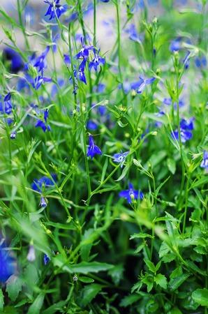sepals: Bellflower; Campanula persicifolia on a summer meadow.