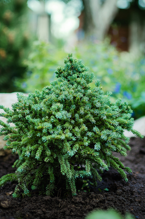 pinaceae: decorative dwarf pine grows in the garden. Stock Photo