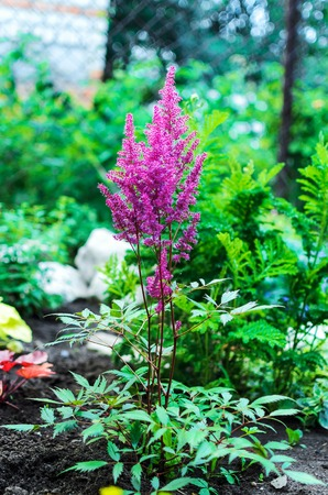 herbaceous: Closeup of Astilbe chinensis - herbaceous perennial flower Stock Photo