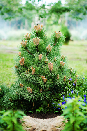 decorative dwarf pine grows in the garden. Stock Photo