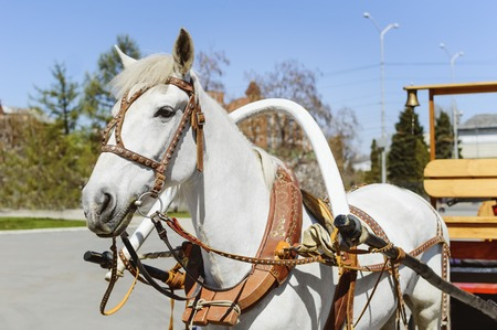 leathern: A white horse harnessed to a cart. Fastening the cart to the horses collar.