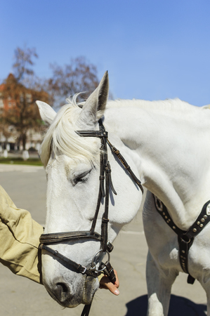 The mans hand holds a white horse under the bridle, close-up, side view. Stock Photo