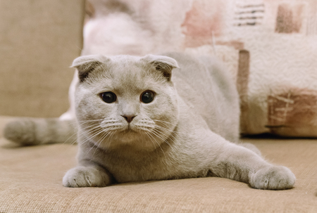 lop eared: Beautiful British blue lop-eared cat lies on the sofa at home.. Blue Scottish Fold cat. British Shorthair Cat.