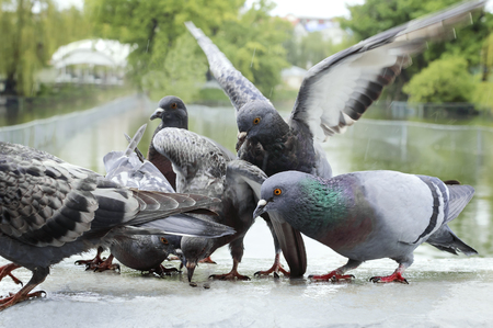 Pigeons eat seeds in the park in the rain. Stock Photo